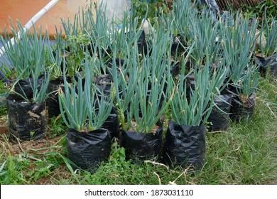 Daun Bawang, Allium fistulosum L. , planting Welsh onions in black polybags