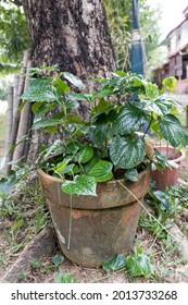 Daun kaduk or piper sarmentosum planted on pot as food and herbal medicine
