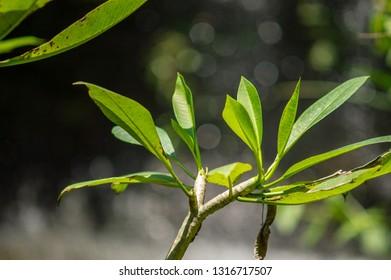Daun Kamboja or Frangipani tree leaves were isolated on a blurry background