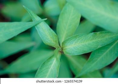 """daun kesom or """"kesom"""" leaves"""