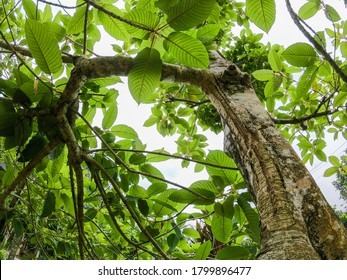 Daun Ketum or sain named as Mitragyna speciosa also call it kratom is a tropical evergreen tree.it has been used in traditional medicines since at least the nineteenth century.