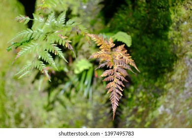 Daun Pakis or A fern is a member of a group of vascular plants (plants with xylem and phloem) that reproduce via spores and have neither seeds nor flowers