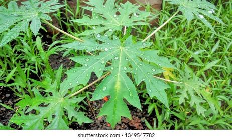 Daun pepaya or Papaya leaf