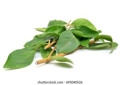 Hasil gambar untuk daun salam