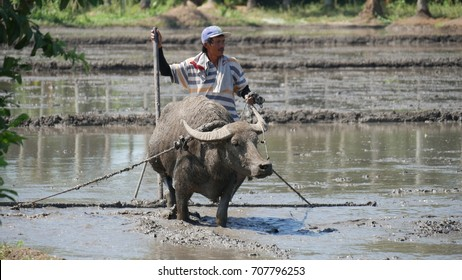 DAVAO ORIENTAL, PHILIPPINES—MARCH 2016: A farmer plows the muddy ricefield in Banaybanay, Davao Oriental with a water buffalo, called carabao in the Philippines.