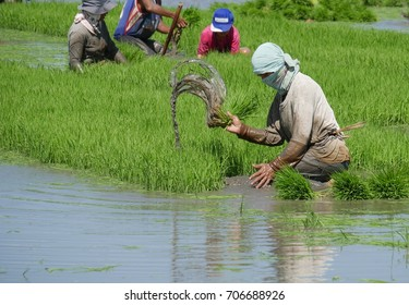 DAVAO ORIENTAL, PHILIPPINES—Muddy water spurts out as a field labor er pulls out the rice seedlings in Banay-banay, Davao Oriental, southern Philippines. Photo taken in March 2016.