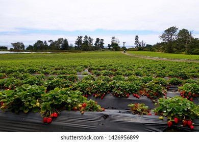 DAVENPORT, CA - JULY 28, 2015: Organic strawberries grown on a farm on July 28, 2015, in Davenport, California. The state of California is the leading supplier of strawberries in the U.S.A.