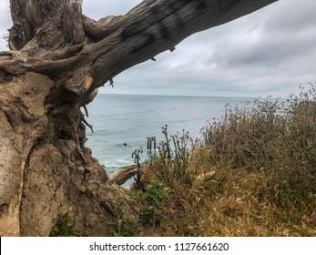 Davenport Pier, Northern California. The view from the cliffs above Four Mile Beach near Davenport California. Brown wild vegetation on a hill. Close up.