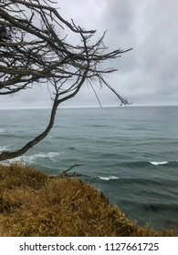 Davenport Pier, Northern California. The view from the cliffs above Four Mile Beach near Davenport California. Brown wild vegetation on a hill. A tree leaning towards the water.