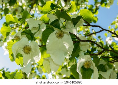 Davidia involucrata, the dove-tree, handkerchief tree, pocket handkerchief tree, or ghost tree in Botanical garden in Oslo
