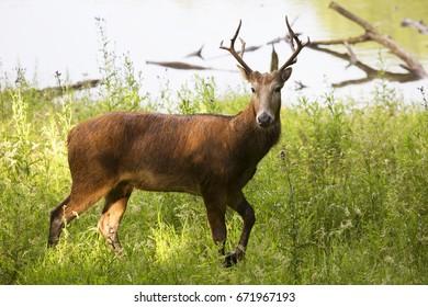 Père David's deer, Elaphurus davidianus, alerted buck standing in high grass at lake shore