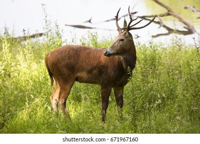 Père David's deer, Elaphurus davidianus, backward-looking buck at lake shore between the high grass