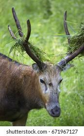 Père David's deer, Elaphurus davidianus, head of buck with sweep grass on antlers