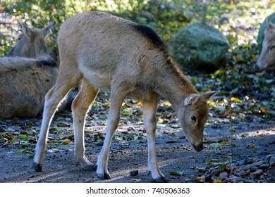 Père David's deer (Elaphurus davidianus), also known as the milu