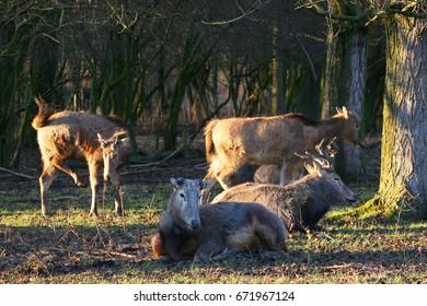 Père David's deer, Elaphurus davidianus, resting herd,