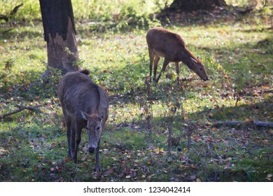 Père David's deer, Elaphurus davidianus, walking in the forest and grazing on grass field
