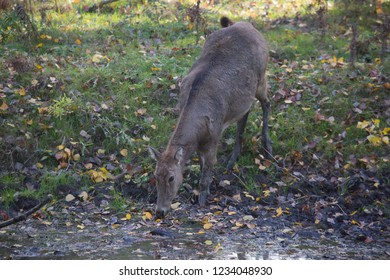 Père David's deer, Elaphurus davidianus, walking from the forest towards waterhole for drinking