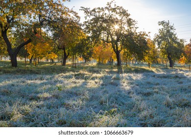 Dawn in the autumn orchard. Sunrise on the apple trees background. Cold autumn morning.