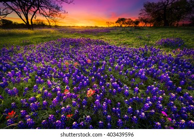 Dawn breaks over a field of bluebonnets and Indian paintbrushes near Fredericksburg, TX