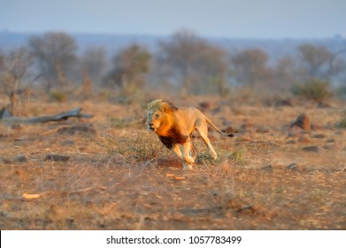 DAWN CHARGE ON ORPEN PLAINS. African lion (Felis leo) Pride male charges  in the rising sun