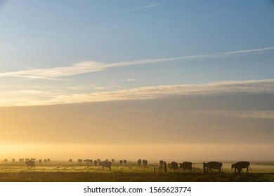 Dawn in the Dutch polder with cows