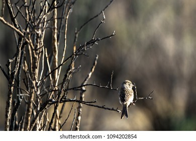 At dawn in early spring, a juvenile Chipping Sparrow perches on a bare bush in Alamosa National Wildlife Refuge in southern Colorado