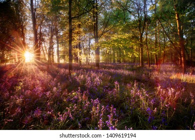 Dawn sunrise through bluebell woodland. Wild purple flowers cover the forest landscape floor with color and sun light stream through the trees