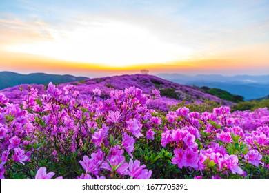 Dawn view of pink royal azalea blossoms on Hwangmaesan Mountain near Hapcheon-gun, Korea.