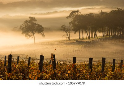 dawn in the vineyards