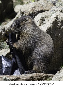 A day in the life of a yellow-bellied Marmot (Marmota flaviventris)