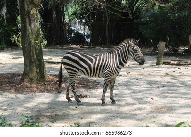 A day in the life of zebra, Singapore Zoo. Animal background