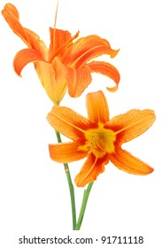 Day lily flowers in Spring