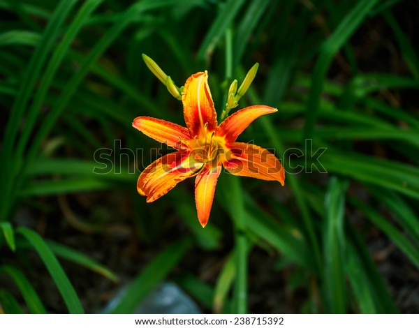 Day Lily Kind Yellow Flower That Stock Photo Edit Now 238715392