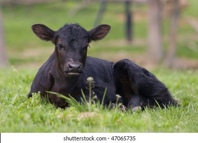 day old black angus calf laying in field