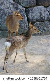 Day view of wild deer on the street on the island of Itsukushima (Miyajima), Japan