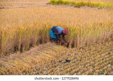DAYAPUR, SUNDARBANS, INDIA. December 7-2015. Elderly farmer cutting rice by hand with a sickle