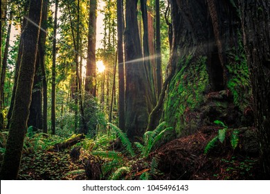 Daybreak in the Redwoods, Redwoods National & State Parks, California