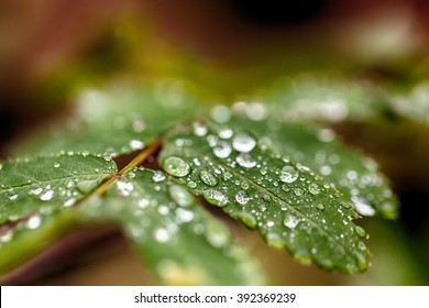 Daylight refracted in water droplets on green leaves on a twig.