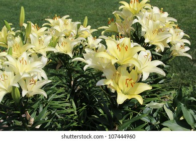 Daylilies (Hemerocallis) are a hardy and showy perennial flower, coming back year after year, making it a favorite in perennial borders or along fence lines. Day Lilies are stars of the flower garden.
