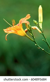 Daylilly blossom with water droplets