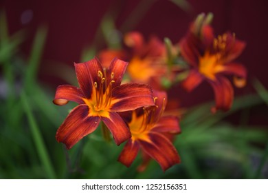 Daylily autumn red