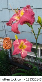 Daylily Coral and Yellow With Orange Lantern