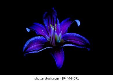 Daylily flower close-up on a black background. UV, fluorescent light