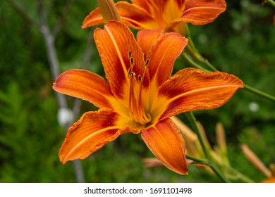 Daylily, flower in the garden, decorativel plant for flower beds. Photo in the natural environment.