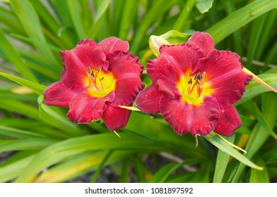 Daylily or hemerocallis study in scarlet two red flowers with yellow core