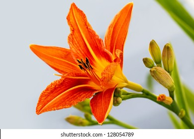day-lily orange flower