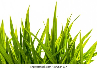 day-lily wet green grass isolated on white background