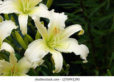 Daylily white Heavenly Angel Ice. Beautiful white flowers daylily. White daylilies blossom in the summer.