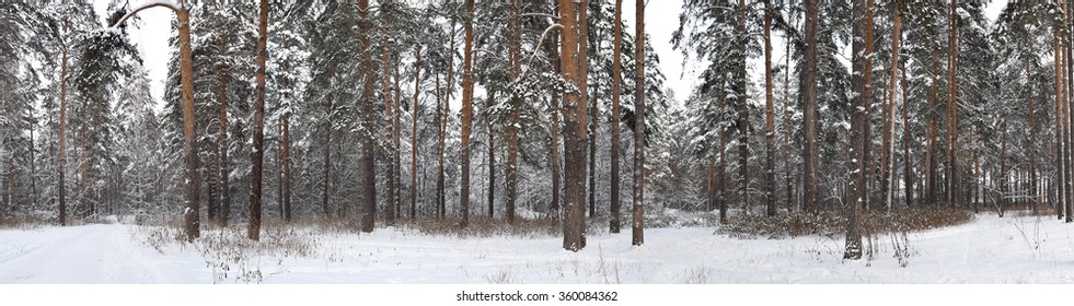 Daytime view of the snowy winter pine forest
