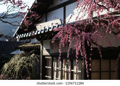 Dazaifu Tenmanguugu of spring in Japan